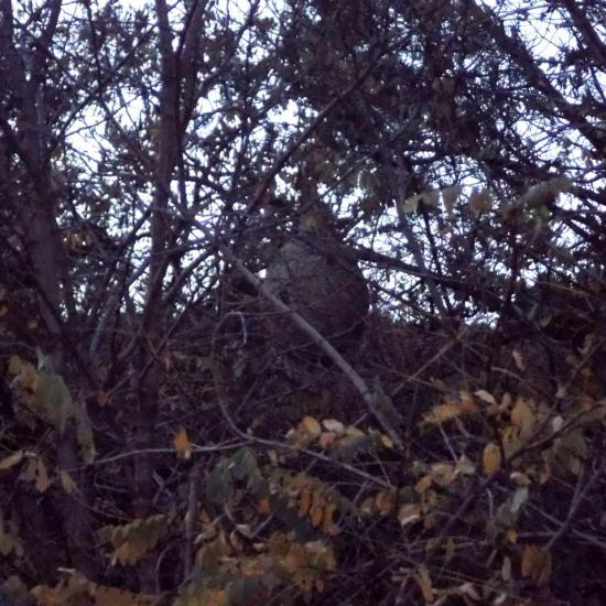 nid de frelons asiatique